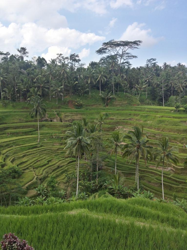 Rice Terrace - Ubud